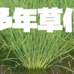 稲の多年草化栽培